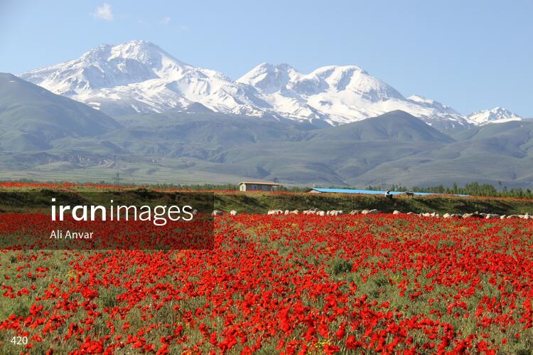 Anemone flowers in a valley facing of Sabalan Mountain