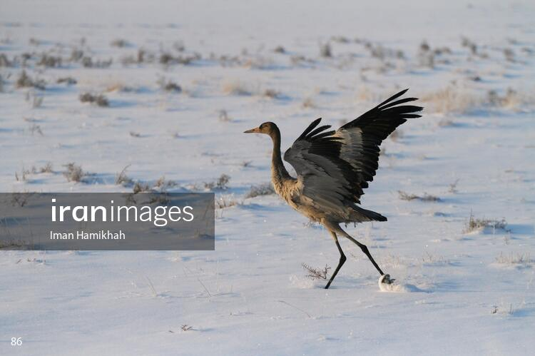 Common Crane in Meighan wetland