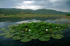 water lilies on Zarivar lake