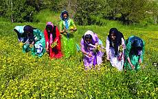 Kurdish girls picking flowers